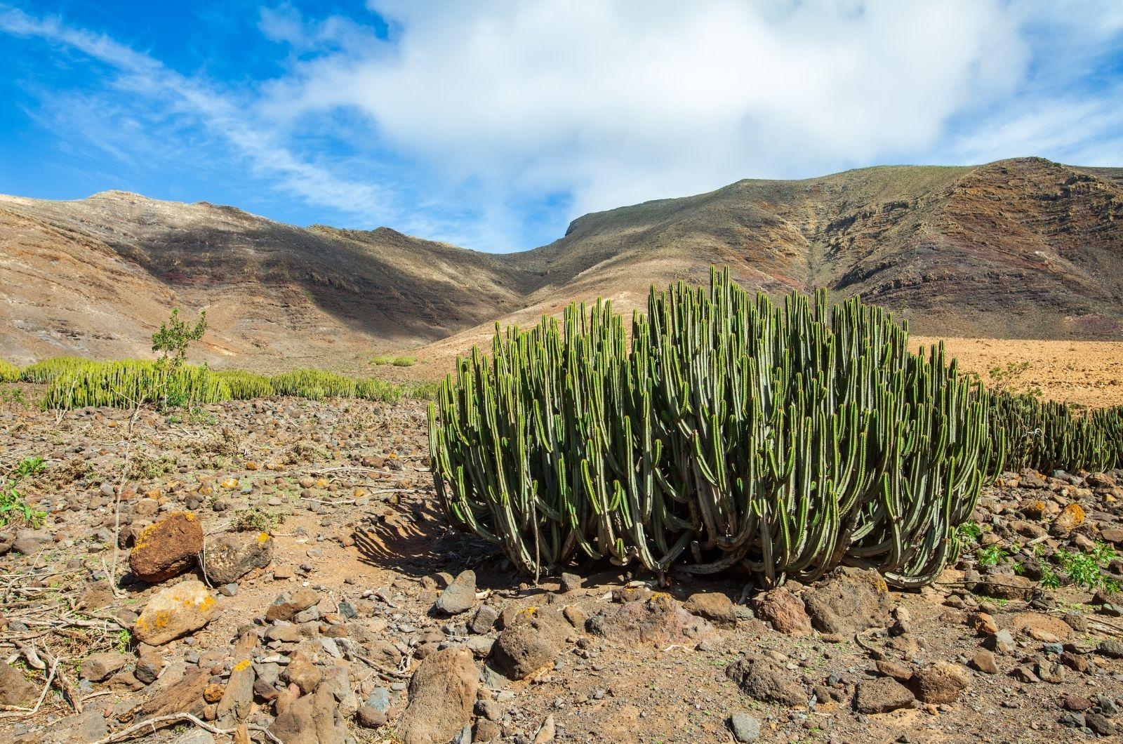 Kaktusy na Kanárských ostrovech